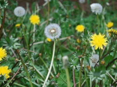 Păpădia – Un fel de Cenușăreasa plantelor